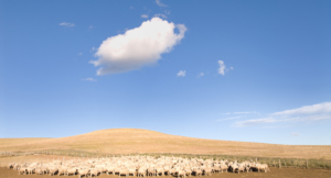 Argentina agriculture sheep